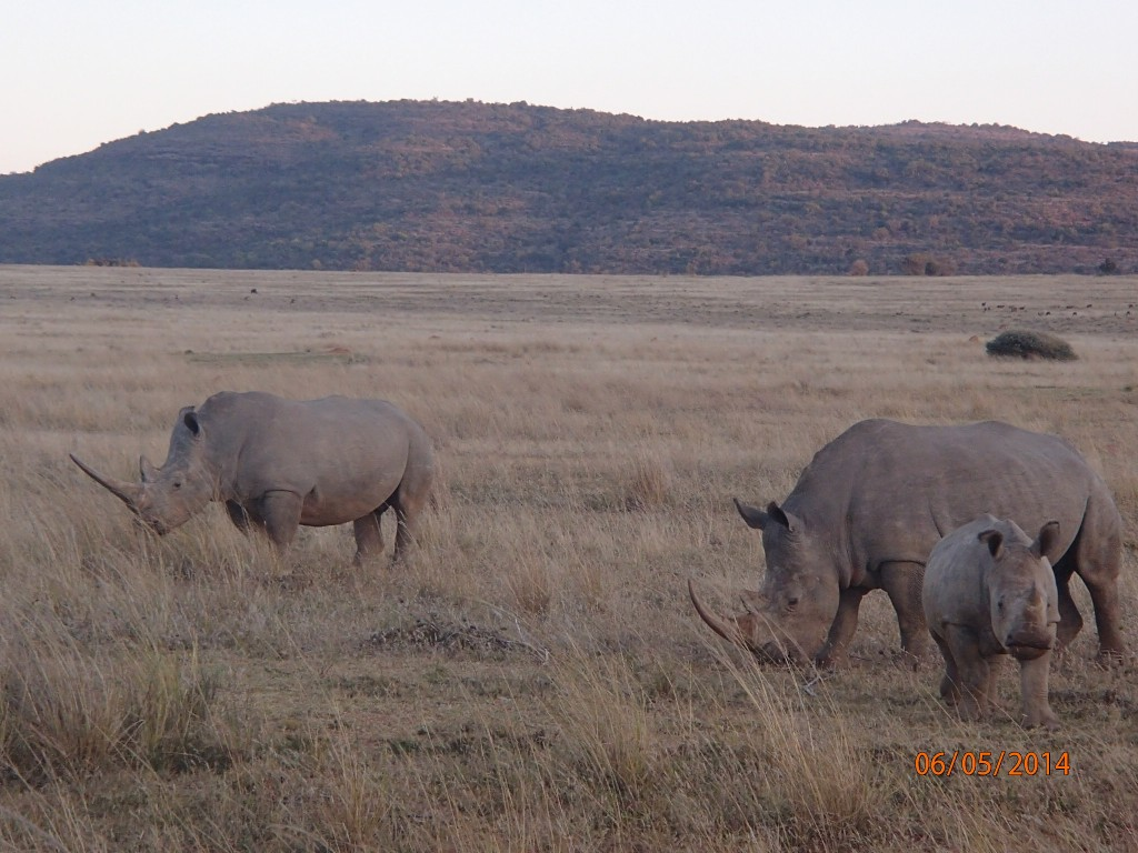 The rhinos who cooperatively wandered over to our vehicle