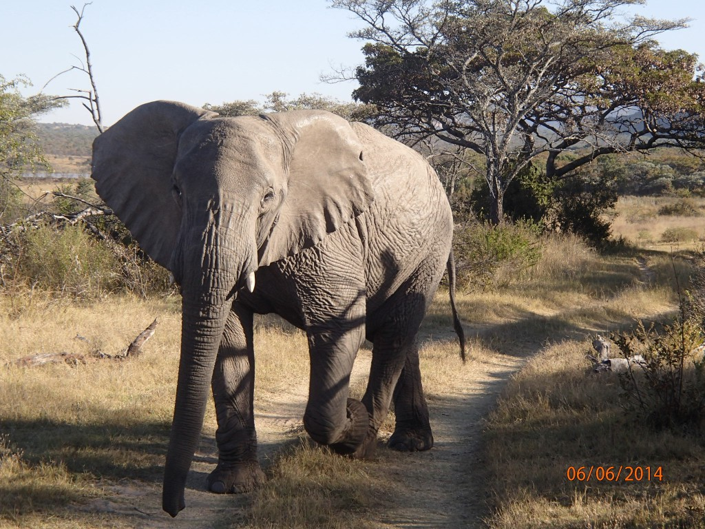 Wisely yielding to an elephant in the road