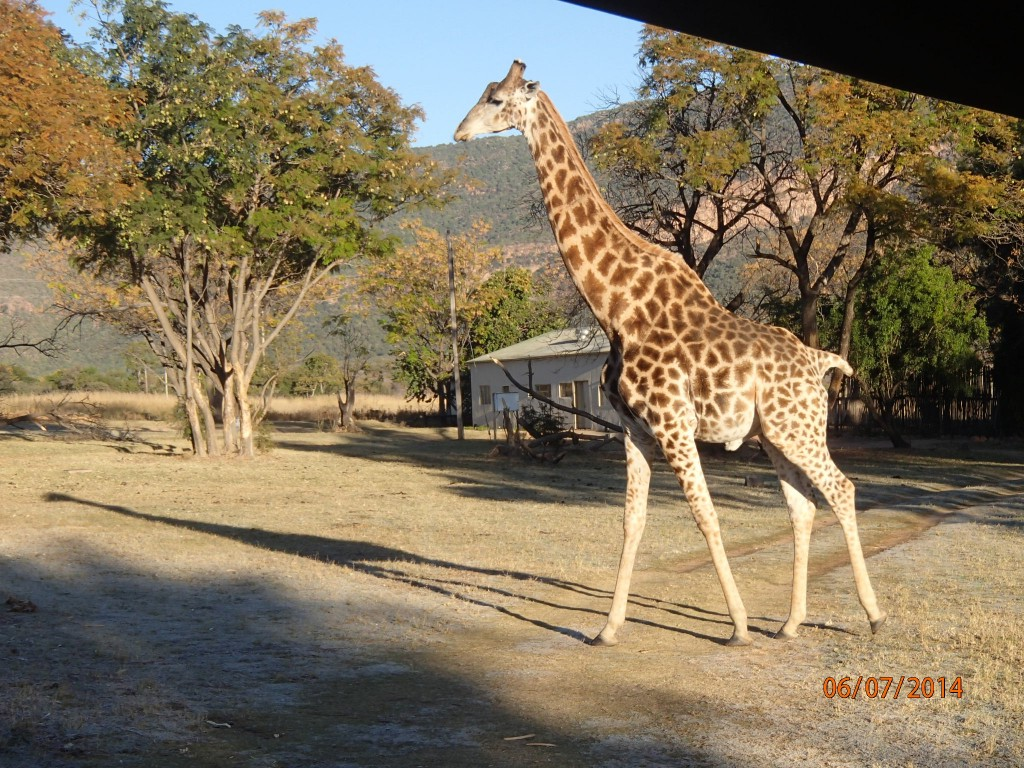 """Stubby"" the giraffe survived a lion attack with all but his tail"