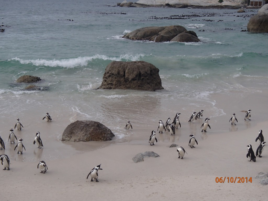 "A colony of South African or ""Jackass"" penguins at Boulders Beach"