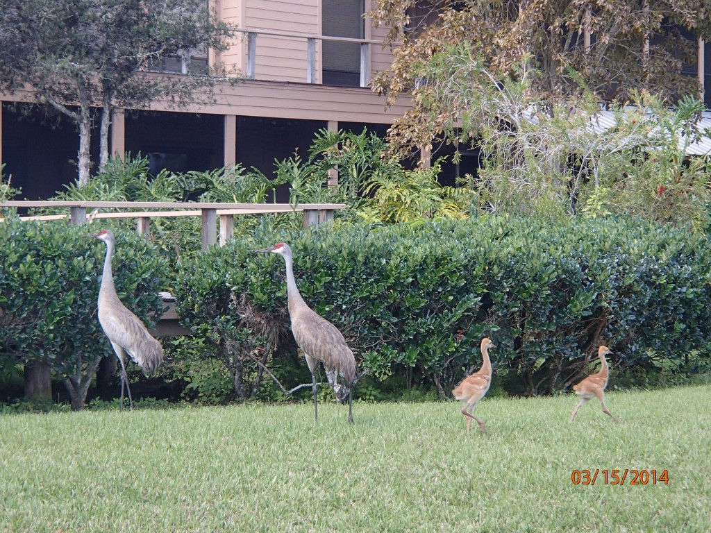 Sand Hill Crane adults and chicks in Florida