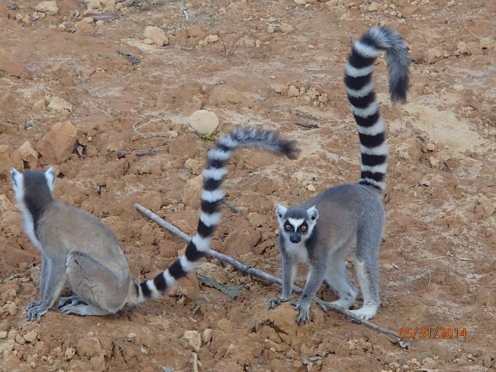 Ring tail lemurs looking for mischief