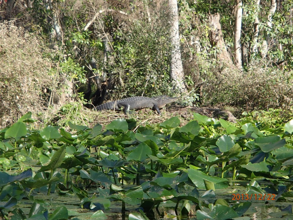 The gators looked well fed and no threat