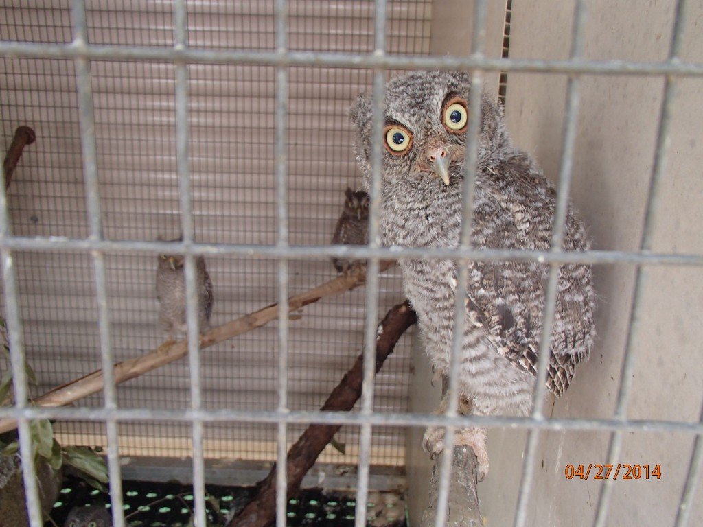One of the baby screech owls Lauren rescued