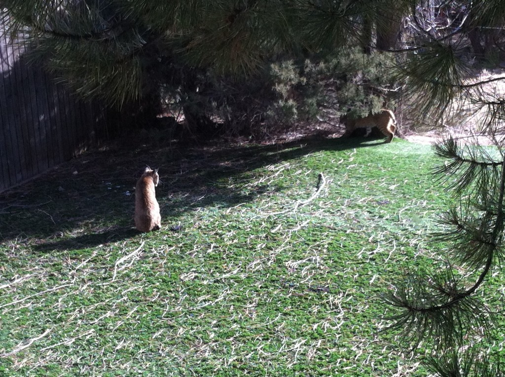 Two bobcats enjoy the artificial turf