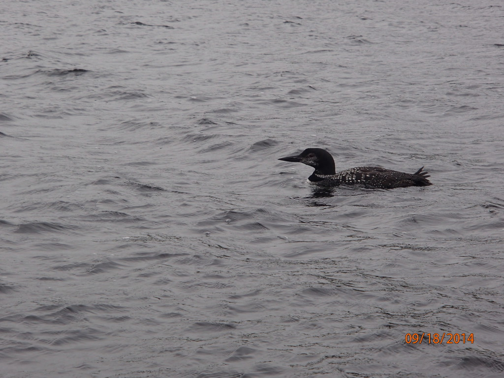 Loons called out at night as we sat by the fire