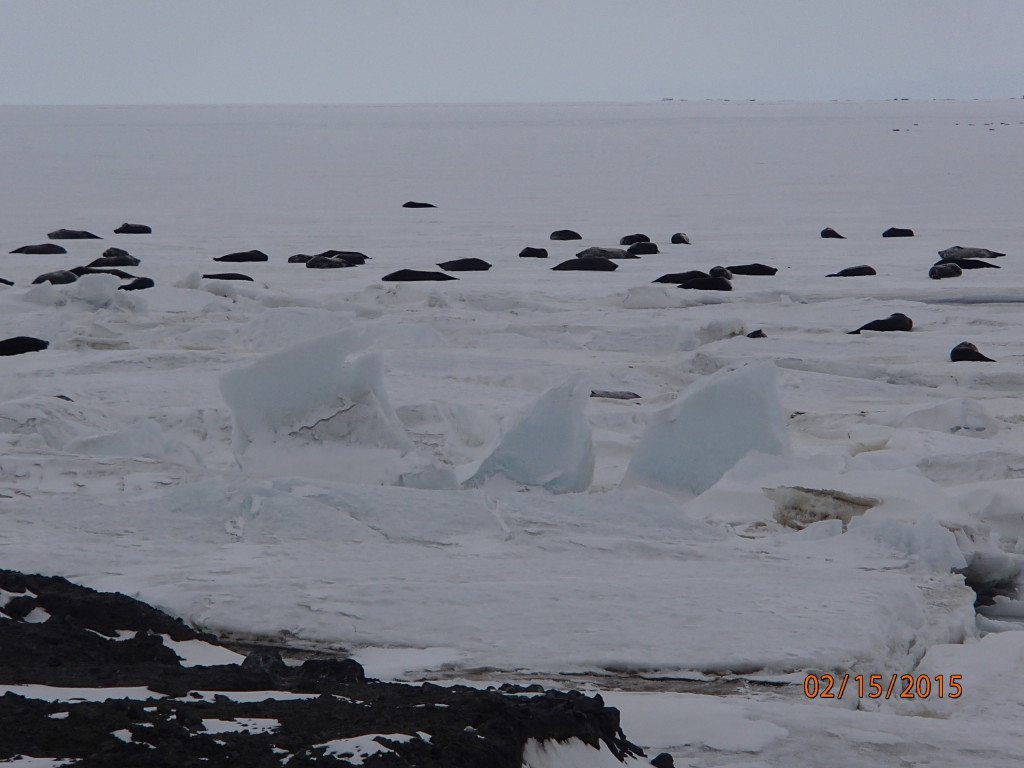 Weddell seals next to Scott Base basking on the ice