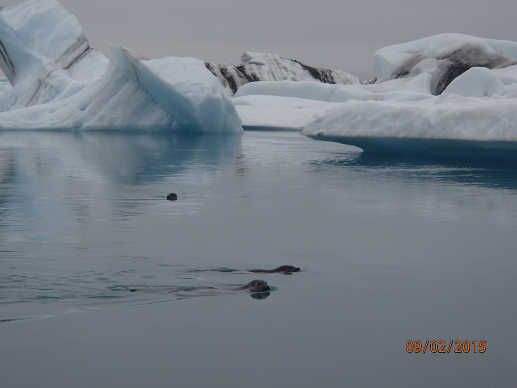 Seals swimming among icebergs from a glacier in Jokulsarlon lagoon