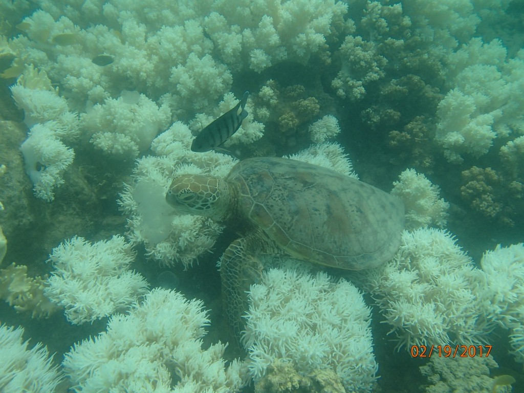 Sea turtle munching on a delicious jellyfish